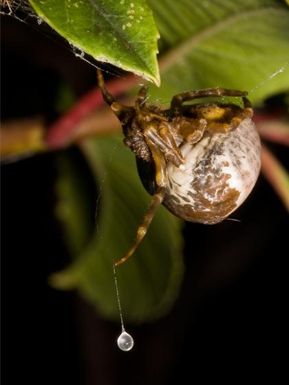 Bolas spider - Mastophora cornigera - female