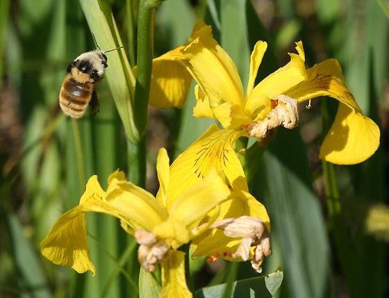 Bumble Bee in Flight - Bombus appositus
