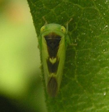Leafhopper?, 2:02pm - Idiocerus lunaris