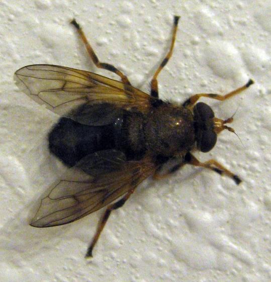 Bombyliidae  02b - Blera