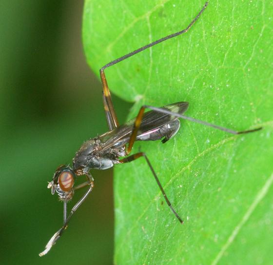 stilt-legged fly - Taeniaptera trivittata