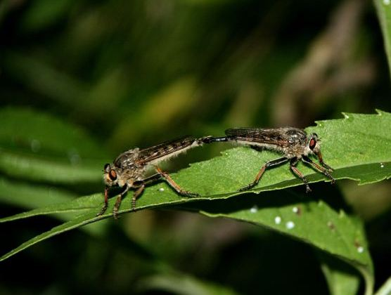 Unknown species of robber flies mating - Promachus rufipes - male - female