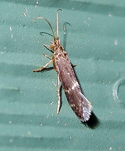 No idea on this one - tiny black moth with white ring of spots?
