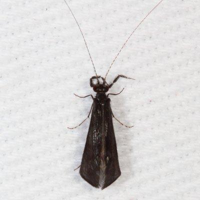 Caddisfly - Mystacides