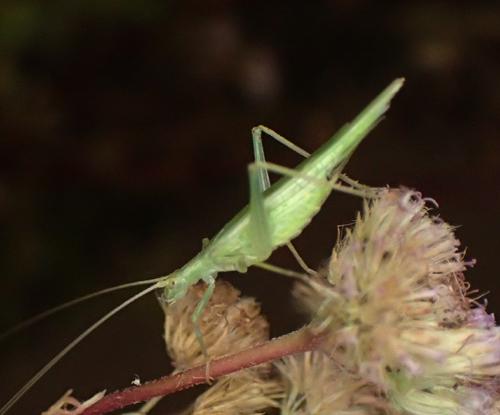 cricket - Oecanthus - female