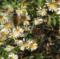 Bumble Bee? - female