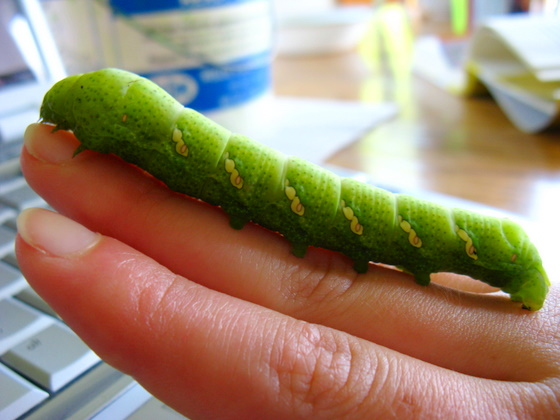 Large Smooth Green Caterpillar - Eumorpha achemon