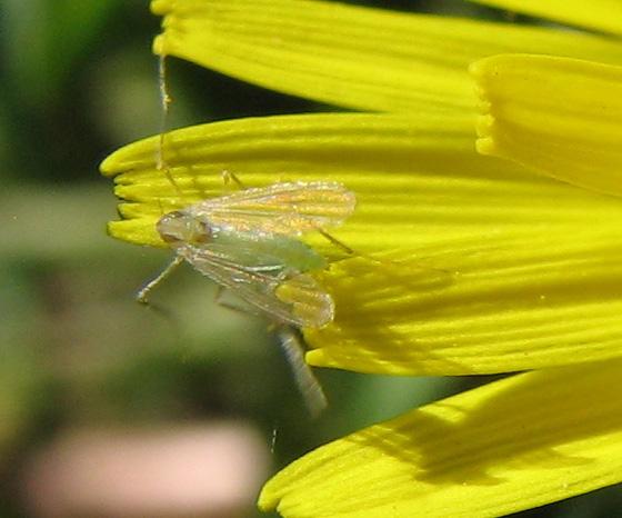 Green Midge - Tanytarsus