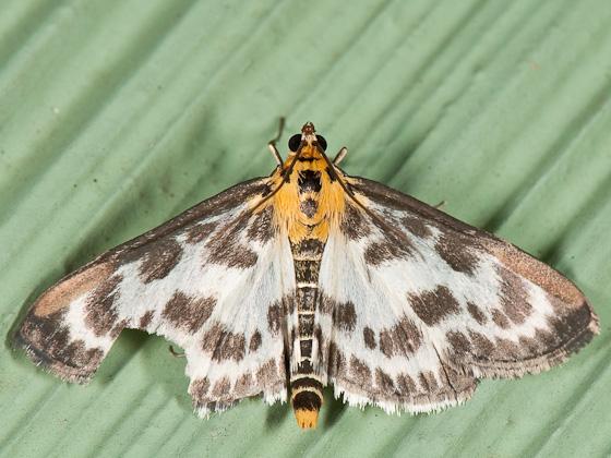Eurrhypara hortulata - Anania hortulata