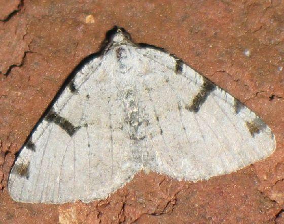 Barred Macaria - Macaria subcessaria