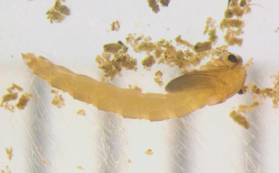 Chironomidae, puparium