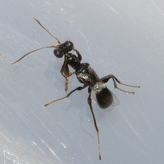 wasp - Dryinus crawfordi - female