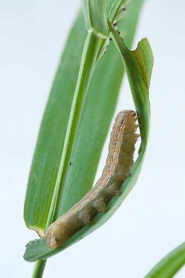Day 21 -- Caterpillar B - Anicla infecta
