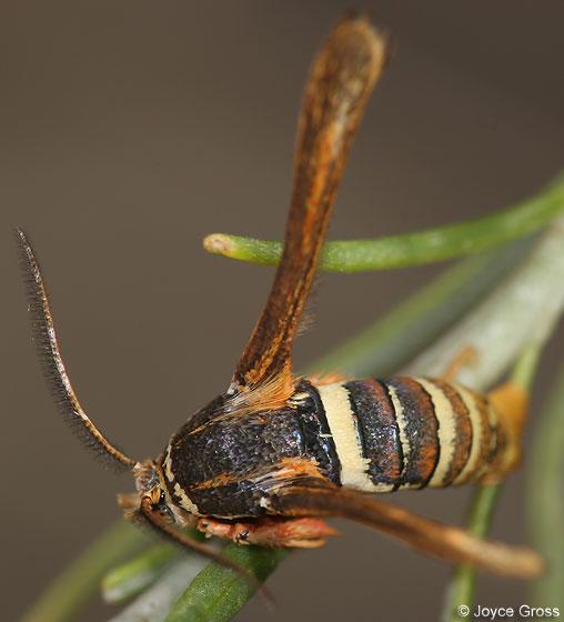 clearwing? - Zenodoxus palmii