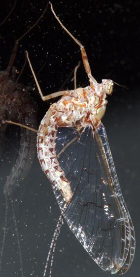 Mayfly - Cloeon dipterum - female