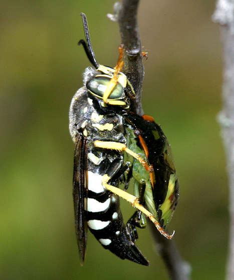 Green Stink Bug caught by wasp - Chinavia hilaris