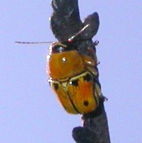 Griburius - Griburius larvatus
