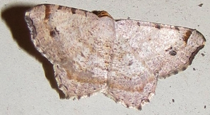 Red-headed Inchworm - Macaria bisignata