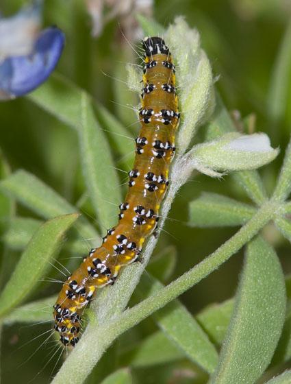 Genista Broom Moth ? - Uresiphita reversalis