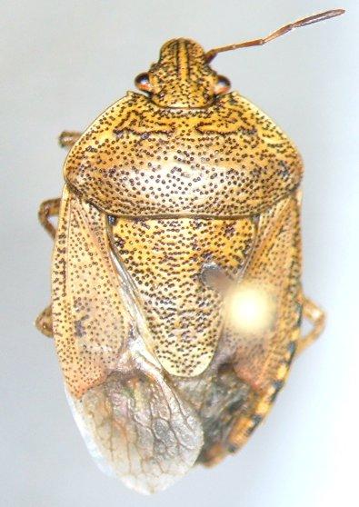 Hymenarcys nervosa - female