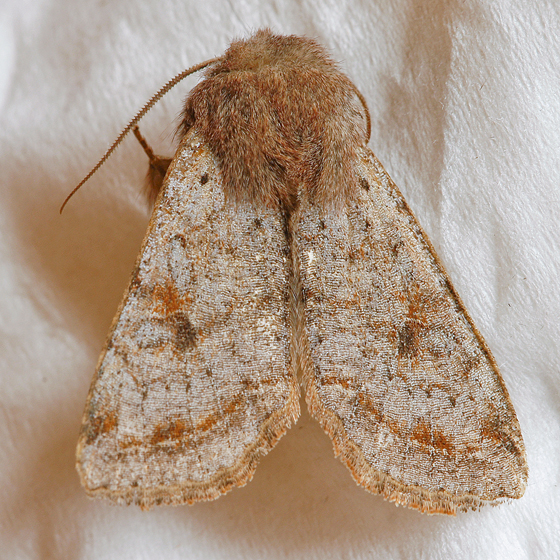 Speckled Green Fruitworm Moth - Orthosia hibisci