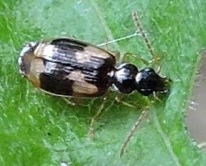 Beetle on elm leaf - Lebia lobulata