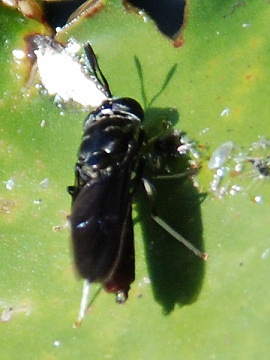 White-legged insect on water lily - Hermetia illucens