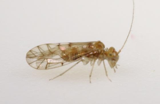 Lachesilla typhicola Garcia Aldrete - Lachesilla typhicola - male
