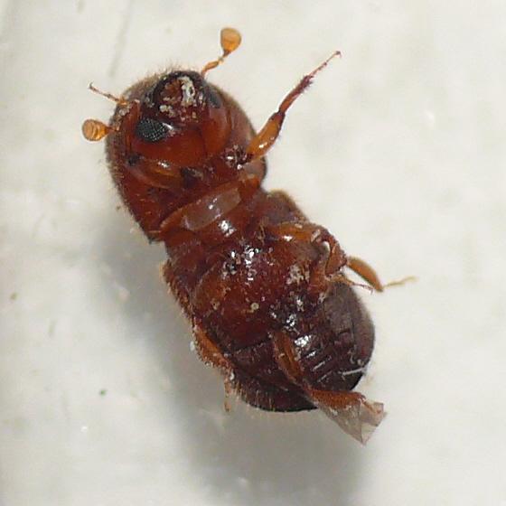 Bark beetle - Xylosandrus crassiusculus