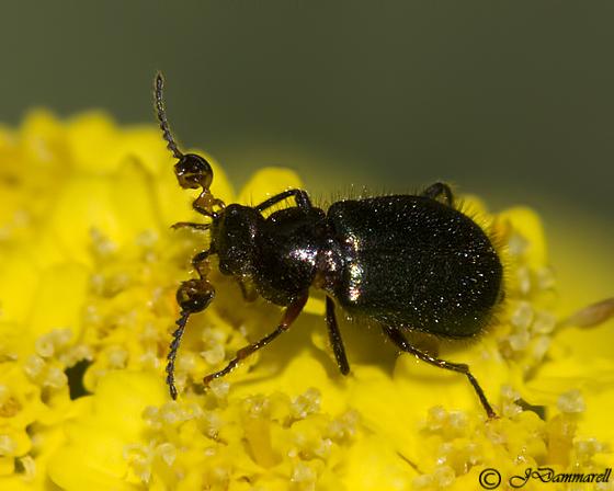 Collops hirtellus? - Collops hirtellus - male