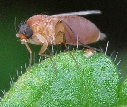 Fly - Megaselia