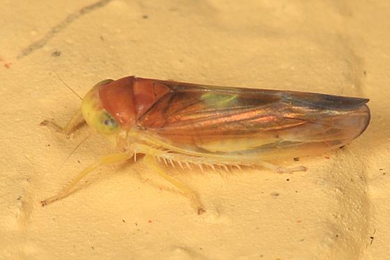 leafhopper - Colladonus setaceus - female