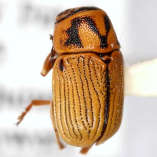Pachybrachis othonus pallidipennis Suffrian - Pachybrachis othonus