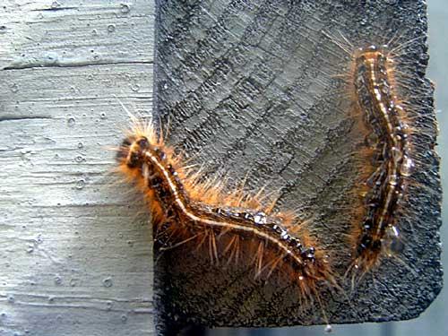 Fuzzy Caterpillar - Malacosoma americana