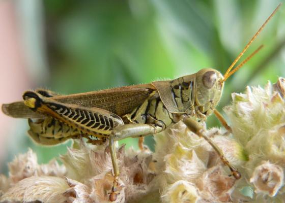 Differential Grasshopper - Melanoplus differentialis - male