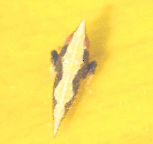 Cicadellidae - Leafhoppers - ? - Scaphytopius