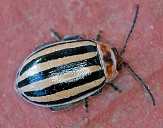 flea beetle? - Kuschelina petaurista