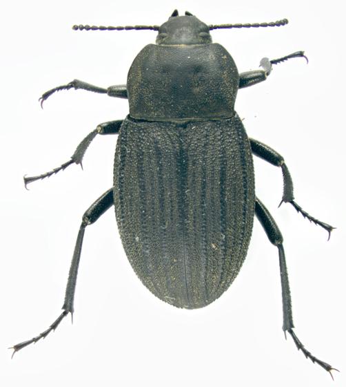 Tenebrionidae, dorsal - Eleodes tricostata