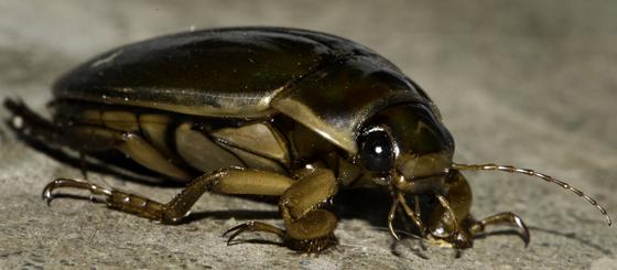 Beetle, Stanwood WA - Dytiscus