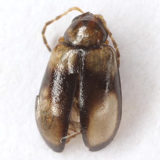 Metrioidea varicornis (J. L. LeConte) - Metrioidea varicornis