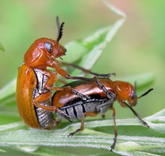 Beetles in Love - Anomoea laticlavia - male - female
