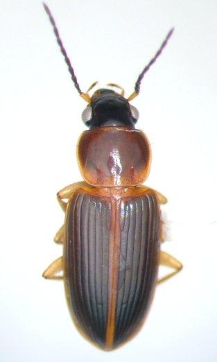 Stenolophus ochropezus - female
