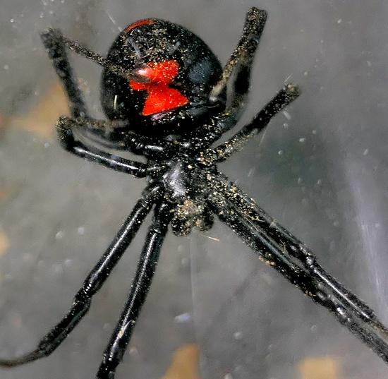 black widow - Latrodectus mactans - female