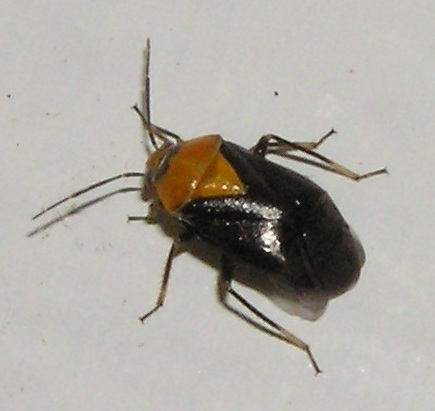black and yellow bug - Neocapsus cuneatus