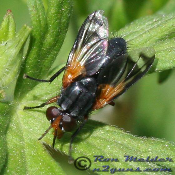 Fly 01 - Euthera tentatrix