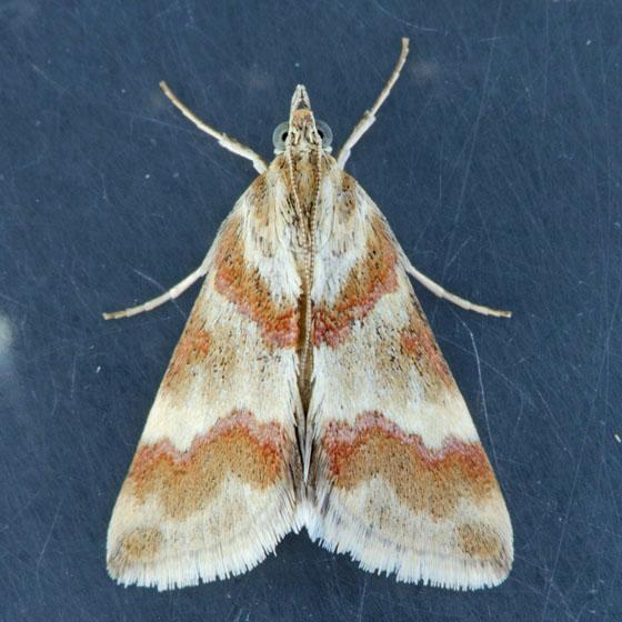 4826  Rufous-banded Crambid  - Mimoschinia rufofascialis