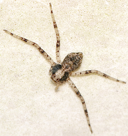 spider with 4 legs - Philodromus
