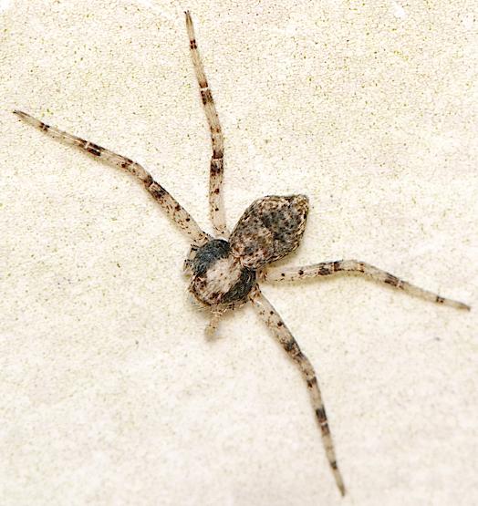spider with 4 legs - Philodromus
