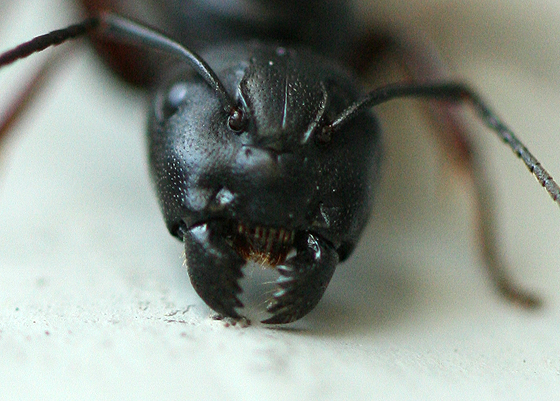 Winged Queen Carpenter Ant - Camponotus - female