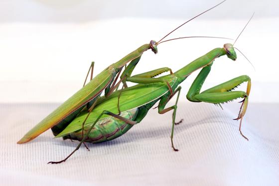 Mantis religiosa - male - female